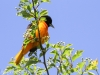 PPL Wetlands baltimore oriole -6