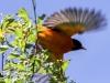 PPL Wetlands baltimore oriole -8