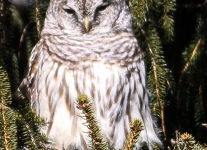 barred owl -1