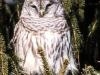 barred owl -1