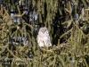 barred owl -2