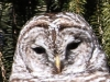 barred owl -4