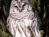 barred owl -5