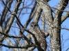 barred owl -7