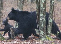 Bear-and-cubs-1-of-38