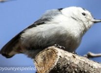 nuthatch 2 (1 of 1).jpg
