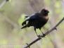 Birds Greenridge feeder and walks may 10 to 13 2016
