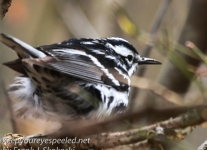 State game lands 119 black-and-white-warbler -1
