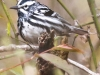 State game lands 119 black-and-white-warbler -10
