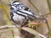 State game lands 119 black-and-white-warbler -11