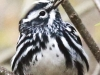 State game lands 119 black-and-white-warbler -14