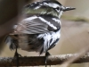 State game lands 119 black-and-white-warbler -2