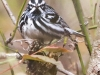 State game lands 119 black-and-white-warbler -3