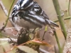 State game lands 119 black-and-white-warbler -4