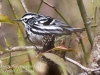 State game lands 119 black-and-white-warbler -6