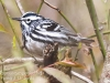 State game lands 119 black-and-white-warbler -7