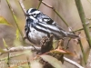 State game lands 119 black-and-white-warbler -8