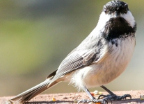 blackcapped chickadee  (1 of 1).jpg