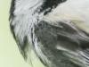 PPL wetlands black-capped chickadee 6 (1 of 1).jpg