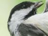 PPL wetlands black-capped chickadee 7 (1 of 1).jpg