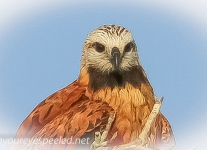Black Collared hawk 2 (9 of 10).jpg
