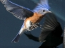 Blue bird PPL Wetlands April 16 2016