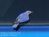 Blue bird -1