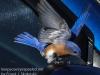 Blue bird -16