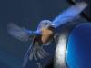 Blue bird -18