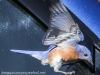 Blue bird -5