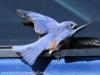 Blue bird -6