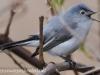 PPL Wetland blue gray gnatcatcher5 (1 of 1).jpg