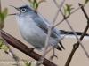 PPL Wetland blue gray gnatcatcher6 (1 of 1).jpg
