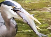 Doylestown blue heron fish-1 - Copy