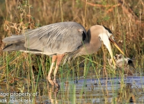 blue-heron-8-1-of-1