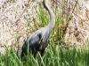 PPL Wetlands blue heron-1