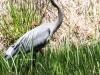 PPL Wetlands blue heron-2