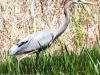 PPL Wetlands blue heron-3