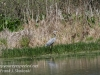 PPL Wetlands blue heron-4