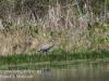 PPL Wetlands blue heron-5