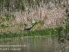 PPL Wetlands blue heron-7