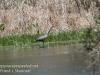 PPL Wetlands blue heron-9