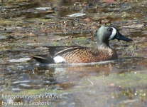 blue winged teal -1