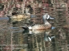 blue winged teal -10
