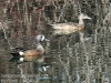 blue winged teal -11