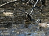 blue winged teal -3