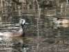 blue winged teal -4