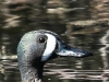 blue winged teal -5
