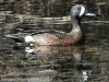 blue winged teal -6