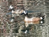 blue winged teal -8